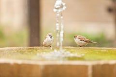 Passero due nel fontain Fotografia Stock