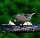 Passero femminile che mangia sull'alimentatore dell'uccello immagini stock