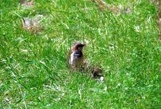 Passero marrone grigio nell'alta erba verde Immagini Stock