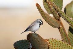 Passero nero di Chinned sul cactus Fotografie Stock Libere da Diritti