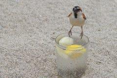 Passero selvaggio appollaiato su un vetro di gin e di tonico fotografia stock libera da diritti
