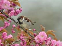 Passero in un fiore di ciliegia Immagini Stock
