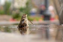Passero Un giovane passero bagna nell'acqua fotografia stock