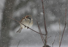 Passero in una tempesta della neve Fotografie Stock Libere da Diritti