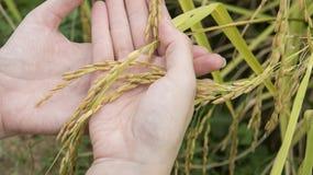 Passi ad azienda agricola di verde del raccolto del giacimento del riso il concetto naturale Immagini Stock Libere da Diritti