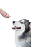 Passi dare il capezzolo del cane al cane lanuginoso sveglio del husky siberiano Immagini Stock Libere da Diritti