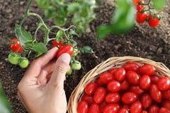 Passi i pomodori ciliegia di raccolto dalla pianta con il canestro fotografia stock