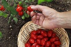 Passi i pomodori ciliegia di raccolto dalla pianta con il canestro nel veget Fotografie Stock