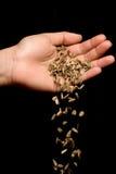 Passi i semi di girasole a strisce cadenti Fotografia Stock