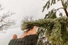 Passi il contatto degli aghi su un pino congelato durante la tempesta di ghiaccio fotografia stock libera da diritti