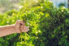 Passi il coriandolo della tenuta nell'azienda agricola e nella spruzzatura dell'alba dell'acqua Immagine Stock Libera da Diritti