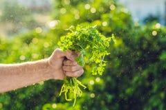 Passi il coriandolo della tenuta nell'azienda agricola e nella spruzzatura dell'alba dell'acqua Immagini Stock
