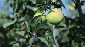 Passi il selezionamento della mela matura dall'albero verde e frondoso archivi video