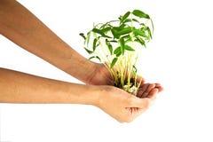Passi l'albero dei germogli di fagiolo della holding Immagini Stock Libere da Diritti