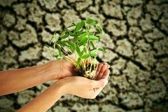 Passi l'albero dei germogli di fagiolo della holding Fotografia Stock