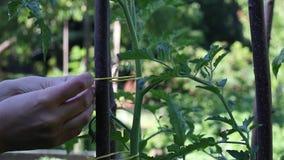 Passi l'attaccattura della pianta di pomodori ad un palo in un giardino archivi video