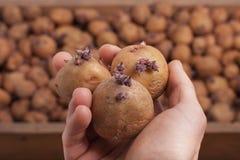 Tre patate Fotografia Stock