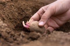 Passi la piantatura del tubero della patata in terra immagini stock
