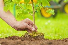 Passi la piantatura dell'albero piccolo con le radici in un giardino immagine stock