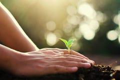 passi la piantatura l'albero piccolo e dell'alba in giardino concetto wo verde immagine stock