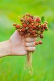 Passi la tenuta del mazzo di fragole di bosco mature rosse del prato Fotografia Stock Libera da Diritti
