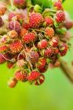 Passi la tenuta del mazzo di fragole di bosco mature rosse del prato Immagini Stock Libere da Diritti