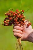 Passi la tenuta del mazzo di fragole di bosco mature rosse del prato Fotografia Stock