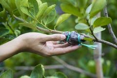 Passi la tenuta dell'innesto sul ramo verde del limone Fotografia Stock Libera da Diritti