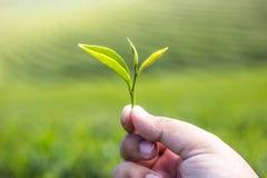 Passi la tenuta della foglia di tè verde con il fondo della piantagione di tè verde Fotografia Stock Libera da Diritti