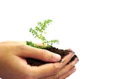 Passi la tenuta della pianta verde in suolo isolato su fondo bianco Fotografia Stock Libera da Diritti