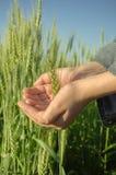 Passi le orecchie della tenuta di grano nel campo Fotografia Stock
