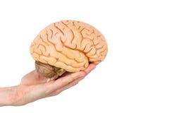 Passi a tenuta i cervelli umani di modello isolati su fondo bianco immagine stock libera da diritti