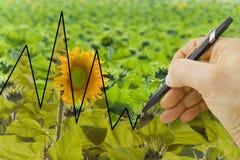 Passi tracciare un grafico circa il raccolto dei girasoli - immagine di concetto Fotografie Stock Libere da Diritti