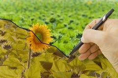 Passi tracciare un grafico circa il raccolto dei girasoli - immagine di concetto Immagine Stock Libera da Diritti