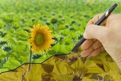 Passi tracciare un grafico circa il raccolto dei girasoli - immagine di concetto Immagini Stock