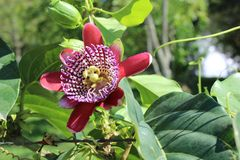 Passiebloem, als hartstochtsbloemen of passiebloemen die ook wordt gekend stock fotografie