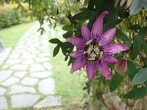 Passiebloem Caerulea royalty-vrije stock fotografie