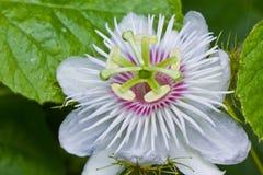 Passiebloem in tuin Royalty-vrije Stock Afbeeldingen