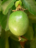 passiflora καρπού Στοκ φωτογραφία με δικαίωμα ελεύθερης χρήσης