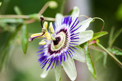 Passiflora λουλουδιών πάθους incarnata στοκ φωτογραφία