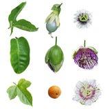 Passiflora συλλογή πάθους στοκ εικόνα με δικαίωμα ελεύθερης χρήσης