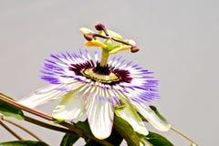 passiflora Royaltyfri Foto