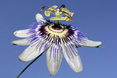Passiflora. Close up of a Passion Flower (Passiflora) on stalk stock photos