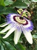 passiflora fotografia de stock royalty free