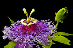 Passiflora. Single bloom on black stock photography