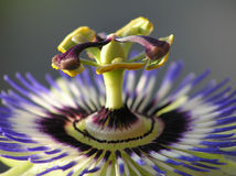 Passiflora. Close-up of a blue passion flower stock images