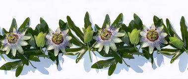 Passiflora Royalty Free Stock Image