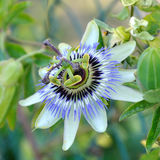passiflora Στοκ Εικόνες