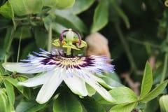 passiflora Royaltyfria Bilder