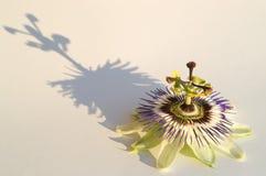 Passiflora Fotografia Stock Libera da Diritti
